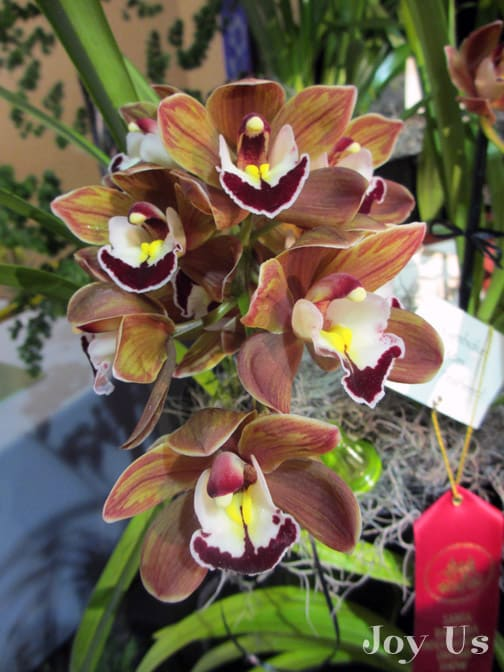 Unique and gorgeous Cymbidiums