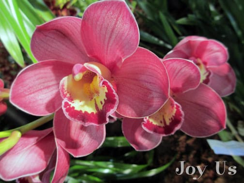 Gorgeous Cymbidium
