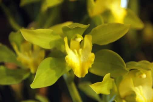 Yellow Cymbidiums