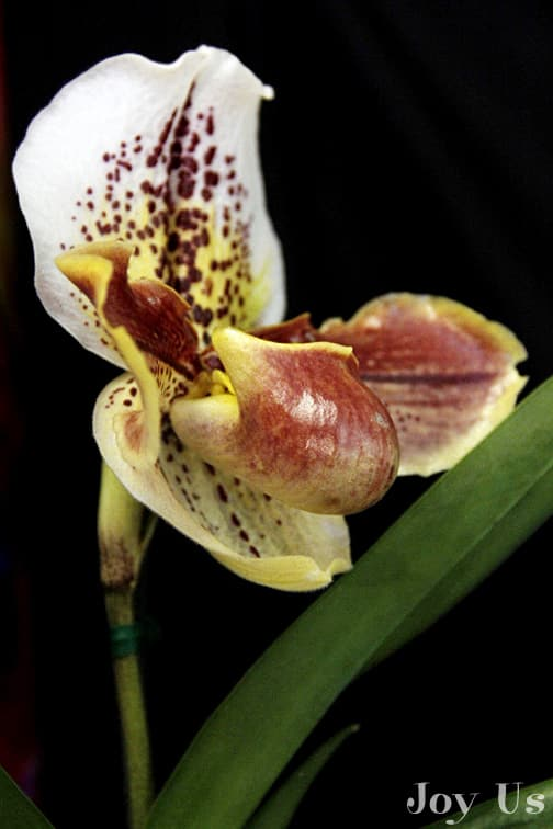 Lady Slipper And Bulldog Orchids