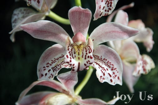 AMazing photos from Cymbidium Fest