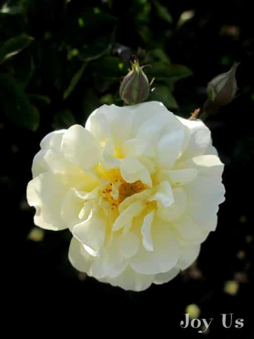 close up of the pale yellow flower of the danae rose
