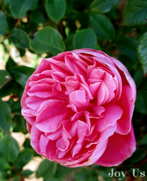 close up of the flower of the pink archiduc joesph rose