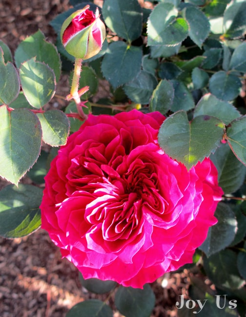 close up of the red/pink flower & bud of the prospero rose