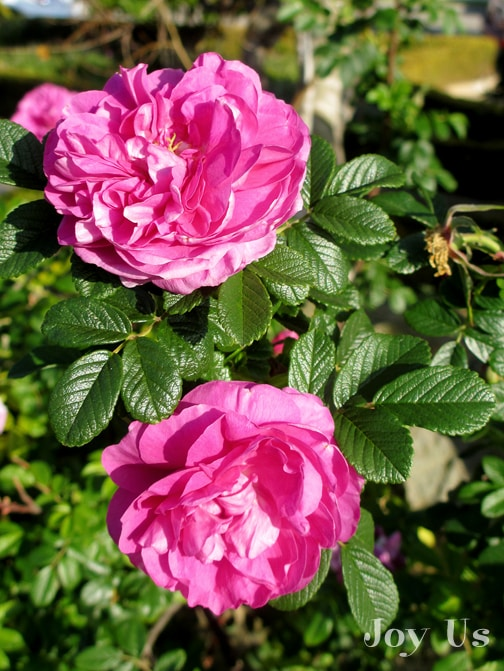 close up of 2 flowers of the pink rose roseraie de l'hay