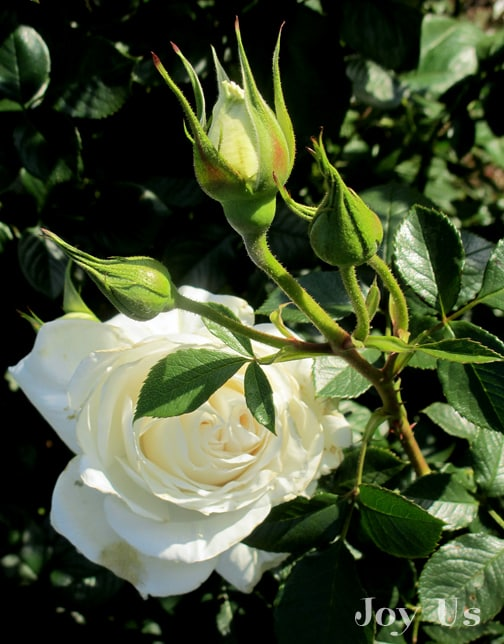 close up of the white flower & buds of the rose maria shriver