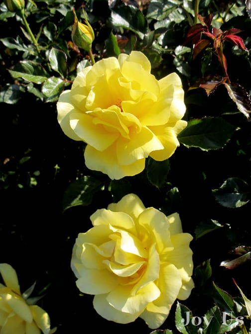 close up of the bright yellow flowers of the sunflare rose