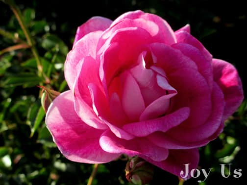 close up of the flower of the beautiful pink rose brilliant pink iceberg