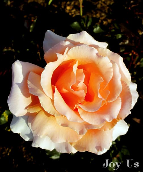 close up of the flower of the apricot peach rose just joey
