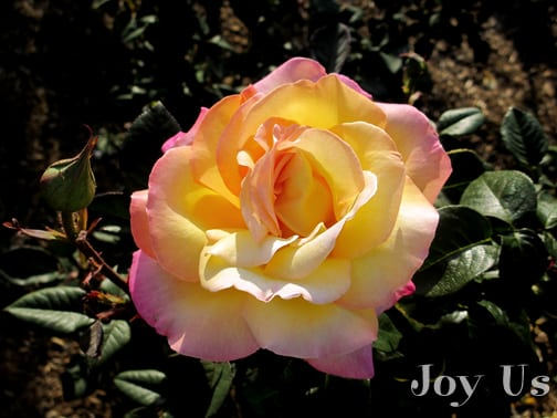 close up of the flower of the yellow/pink peace rose