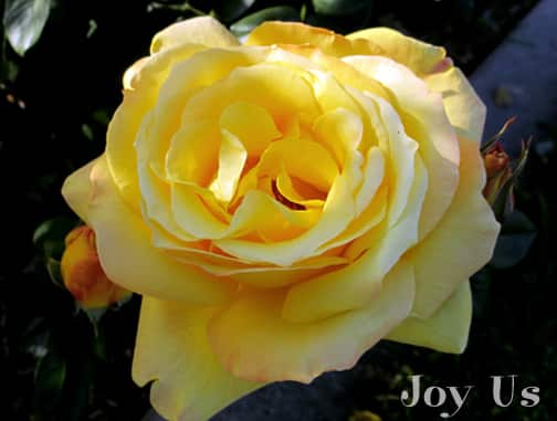 close up of the yellow flower of the celebrity rose