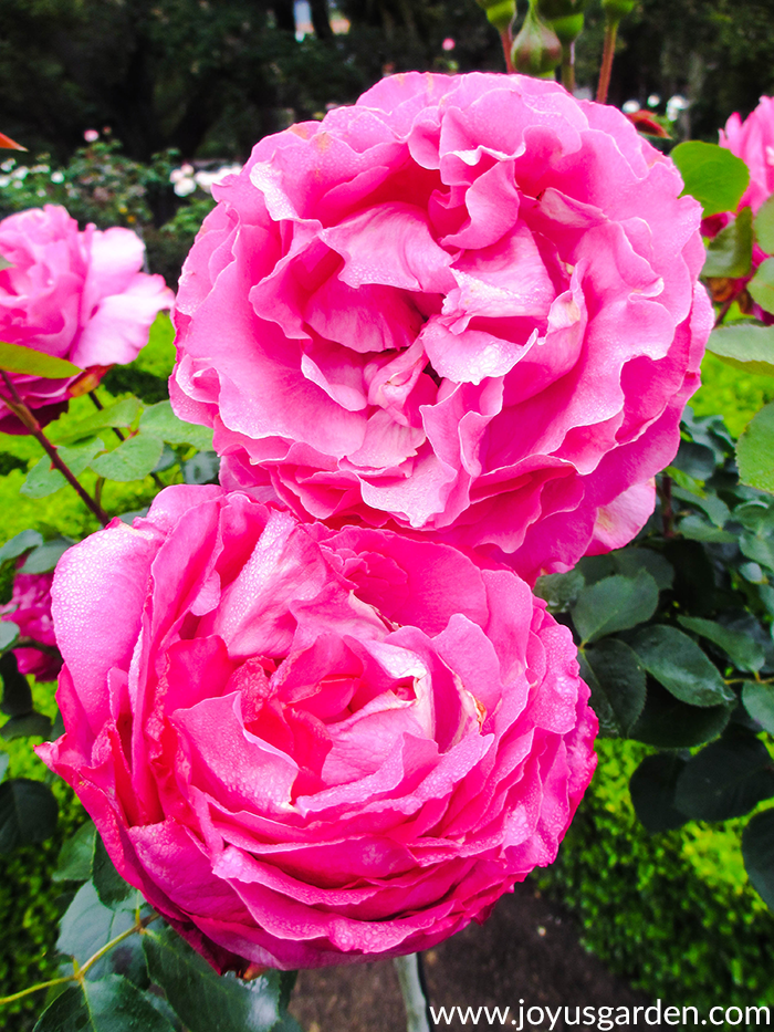 2 beautiful deep pink roses in a garden