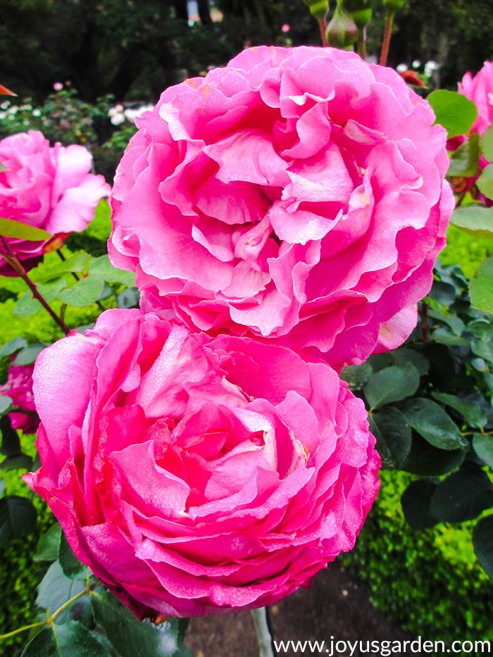 2 beautiful deep pink roses in a garden