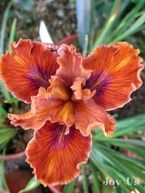 Iris Douglasiana: The Pacific Coast Hybrids