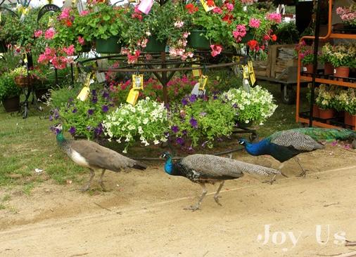 Peafowl at the Arboretum