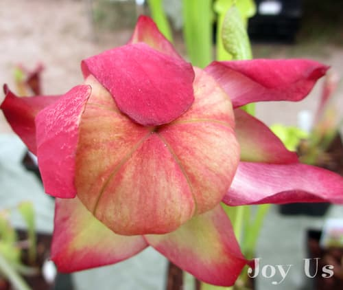 Flower of a Pitcher Plant  from Mesa Exotics