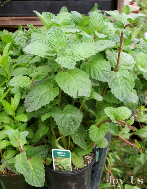 Grapefruit Mint from Diane's Herbs