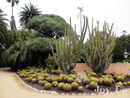 A variety of cacti in Lotusland
