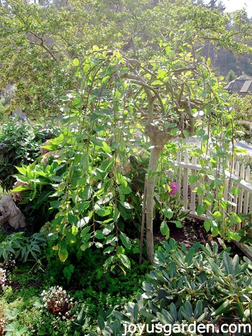 Weeping Plant pruning tips