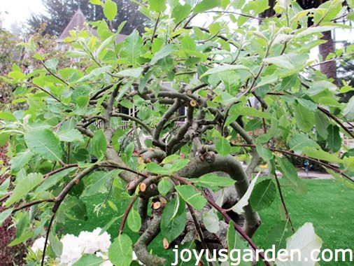 How Not To Prune A Weeping Plant
