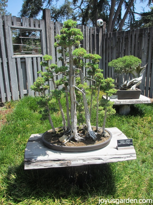 Bonsai in the Japanese Garden