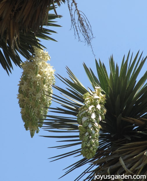 The flowers of the very tall Yucca filifera