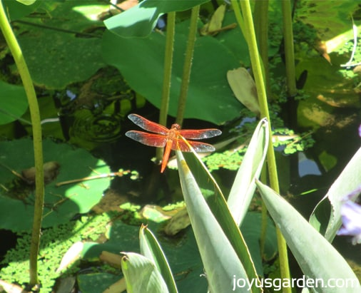 A dragonfly in the Lily Pond