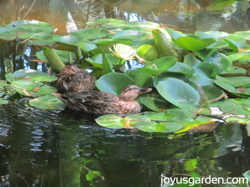 Ducks swimming in the Lily Pond