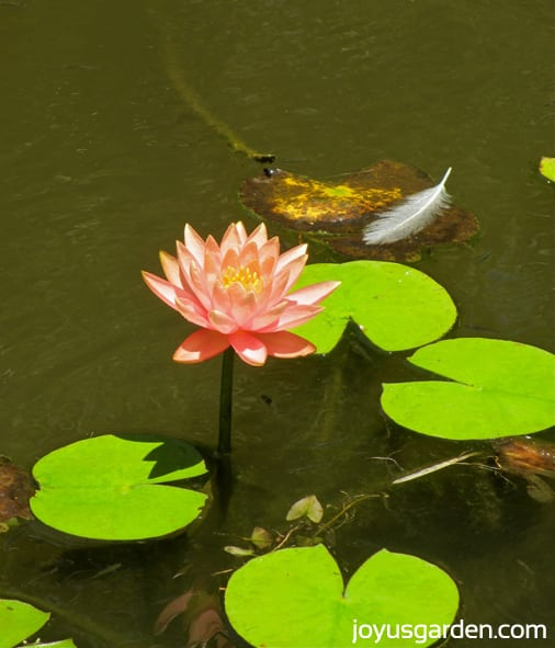 Beautiful lotus flower in the Lily Pond