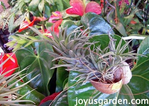 Air plants among houseplants