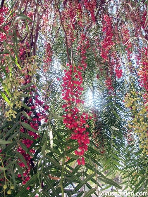 the California Pepper tree