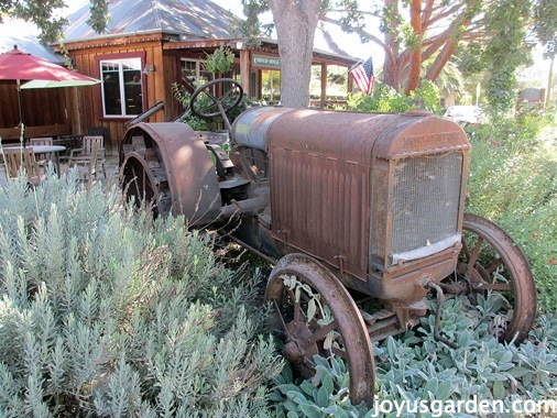 old tractor in a bed of lavender, salvia & lamb's ears
