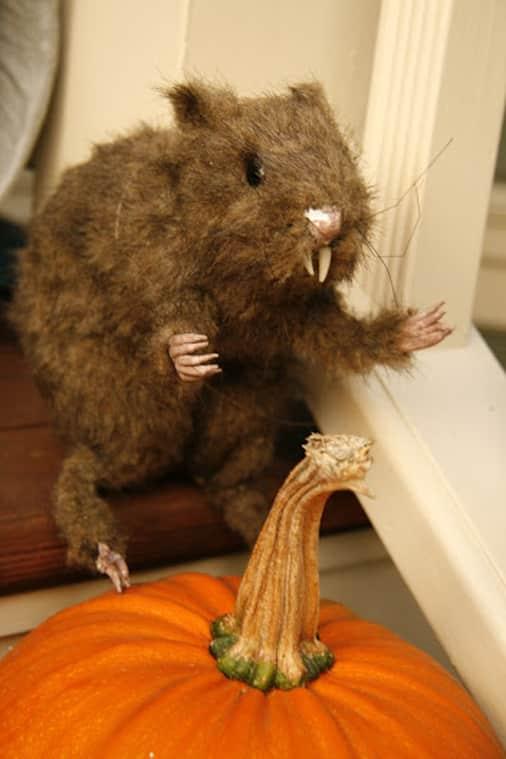 A rat with a pumpkin