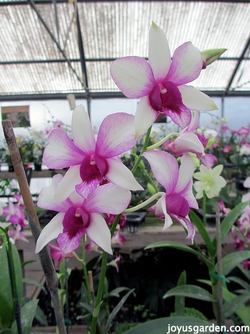Amazing white and pink Dendrobiums