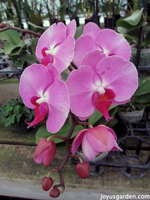 Pretty pink Phalaenopsis