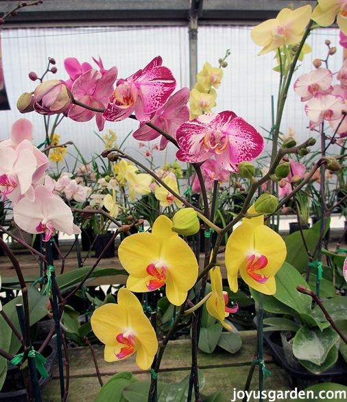 A variety of Phalaenopsis