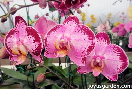 Pretty Phalaenopsis