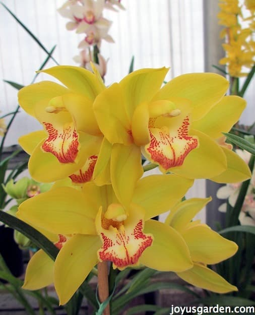 Yellow Cybidiums
