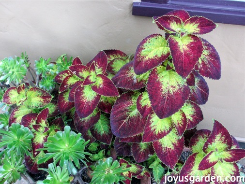 Propagating My Coleus