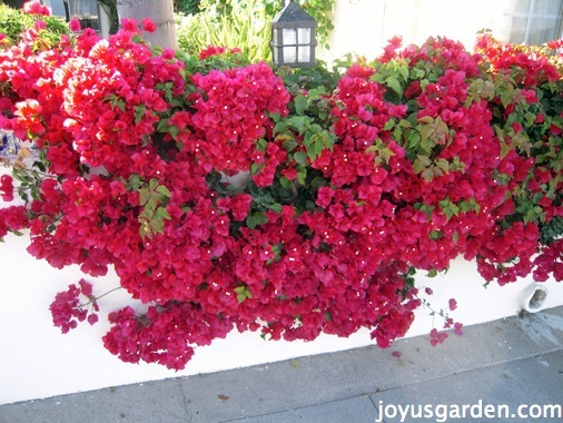 Bougainvillea, So Much More Than Just A Vine