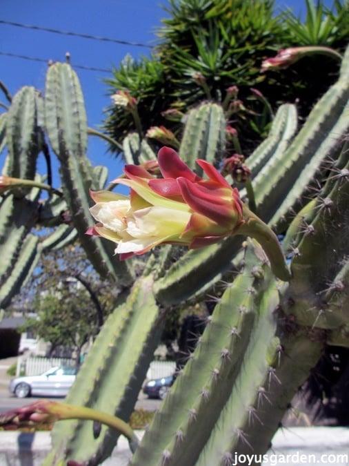 Cereus peruvianus in bloom