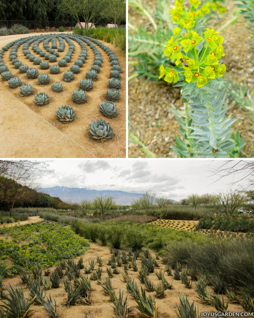 a collage consisting of a landscape view of the cactus garden with mountains in the distance, a close up of a succulent with yellow flowers, and some agaves planted in a geometric pattern