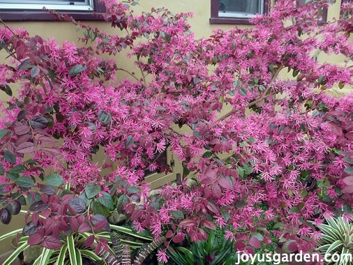My Burgundy Loropetalum