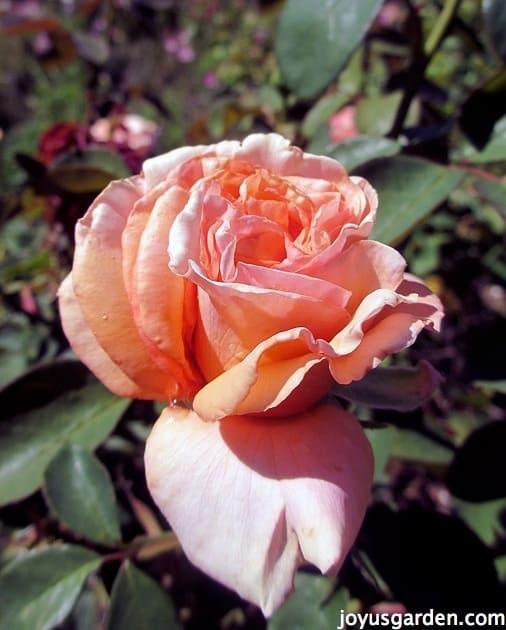 Beautiful sunset tea rose