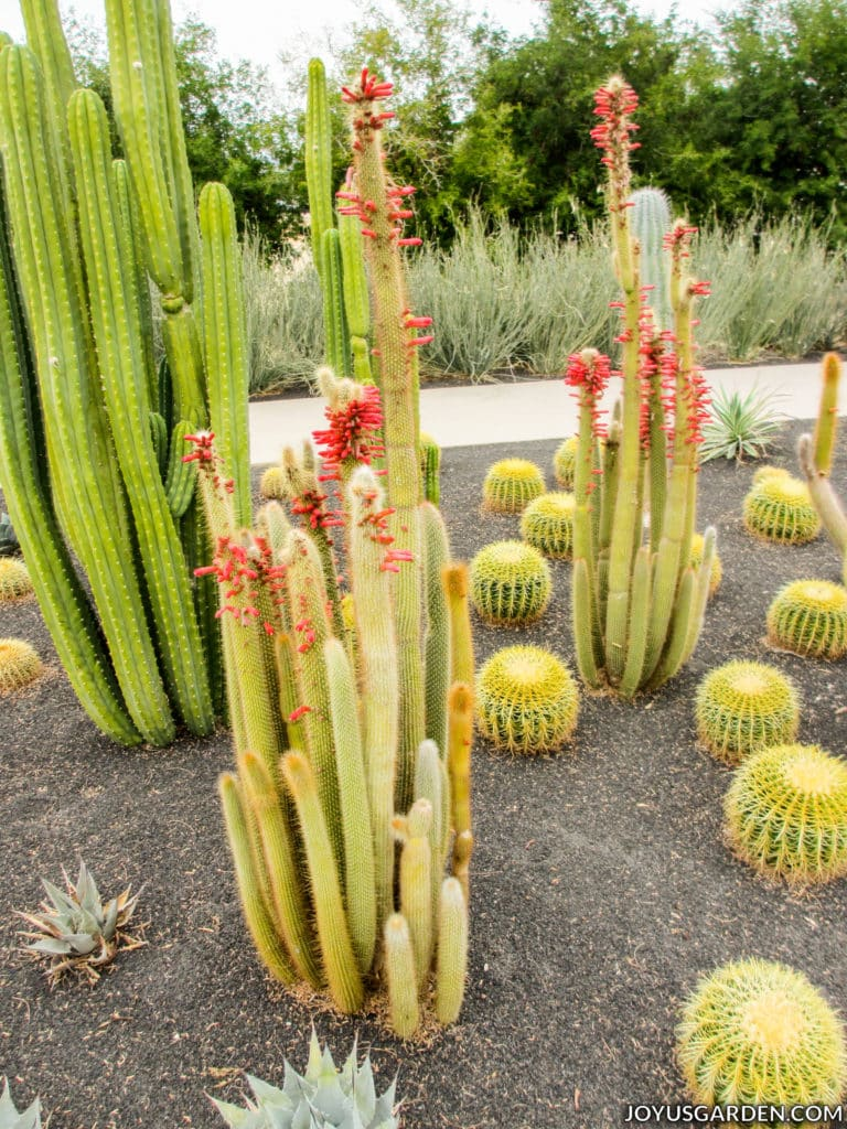 a cactus with red pink flowers surrounded by three other types of cactus, some short, some tall