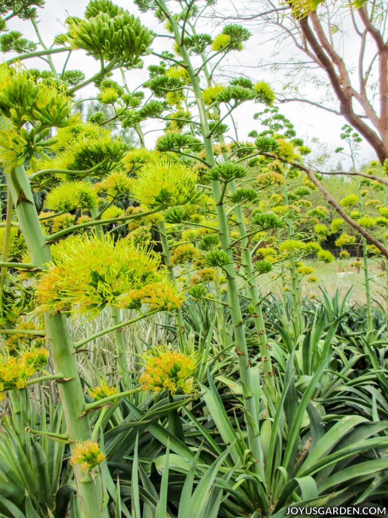 a close up of agave plants with tall chartreuse flowers