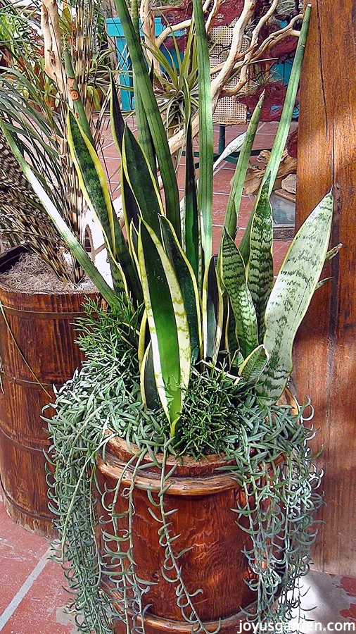 Sansevierias are easy care plants for Easy care outdoor plants