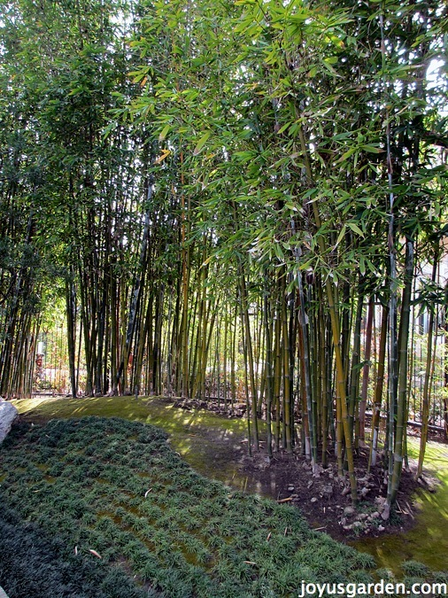Bamboo in the Japanese Garden
