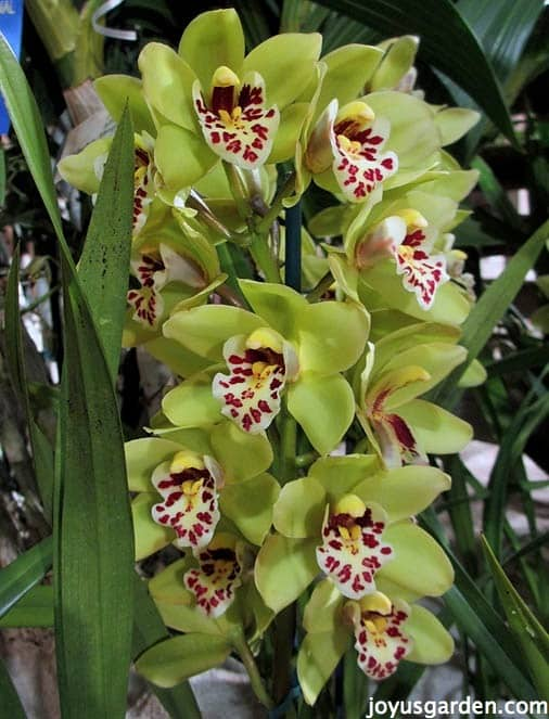 A Bounty of Beautiful Cymbidium Orchids