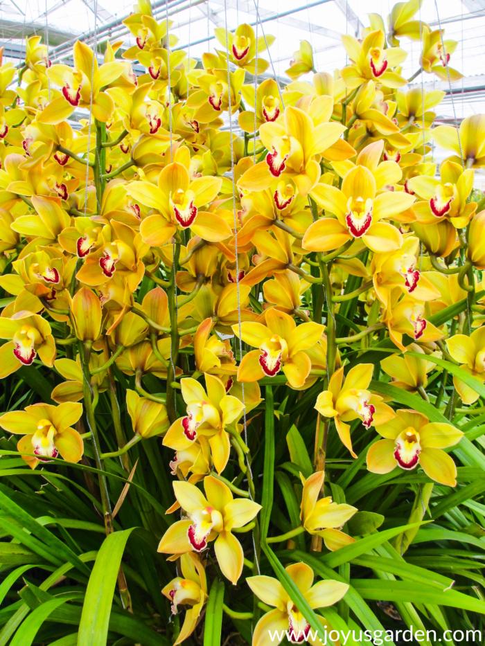 A Bounty of Beautiful Cymbidium Orchids